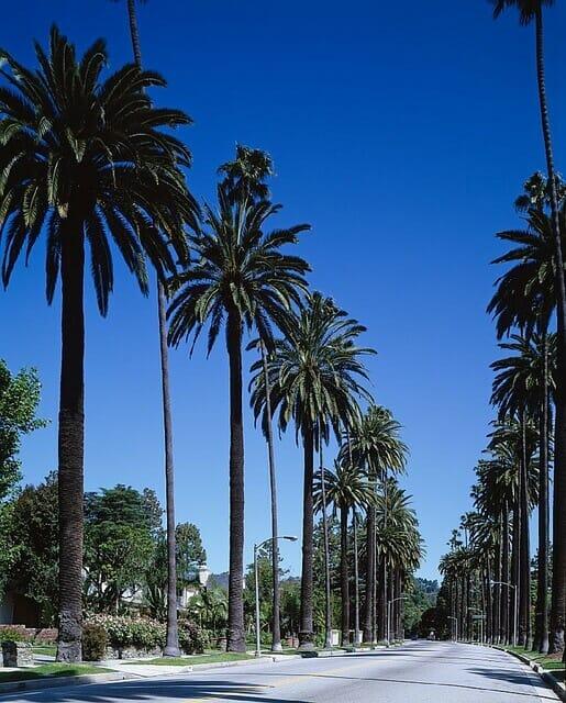 ロサンゼルスのヤシの木