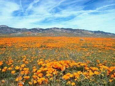 カリフォルニアの花